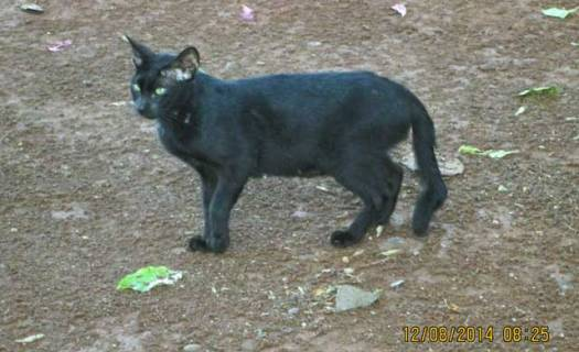 indonesia-kinked-taild-stray-cat