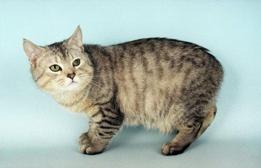 manx-cat1